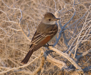 Ash-throated Flycatcher Krammer Junction 2018 04 14-1.CR2