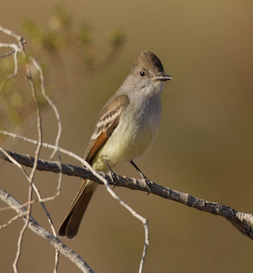 Ash-throated Flycatcher   Cibola NWR 2014 02 01-2.CR2