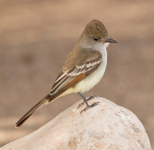 Ash-throated Flycatcher   Cibola NWR 2014 02 01-1.CR2
