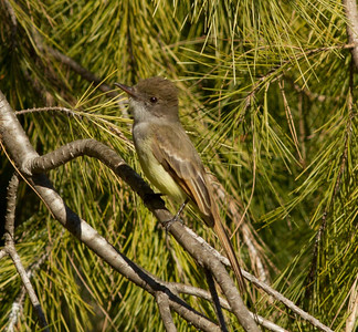 Dusky-capped Flycatcher  Aviara 2011 12 26 (5 of 7).CR2