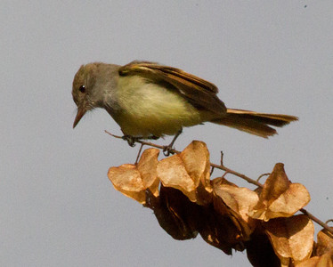 Dusky-capped Flycatcher  Aviara 2011 12 14 (4 of 15).CR2