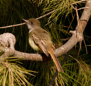 Dusky-capped Flycatcher  Aviara 2011 12 14 (7 of 15).CR2