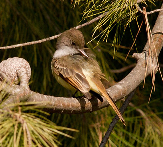 Dusky-capped Flycatcher  Aviara 2011 12 14 (11 of 15).CR2