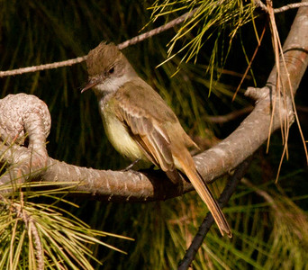 Dusky-capped Flycatcher  Aviara 2011 12 14 (6 of 15).CR2