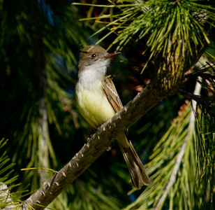 Dusky-capped Flycatcher  Aviara 2011 12 26 (7 of 7).CR2