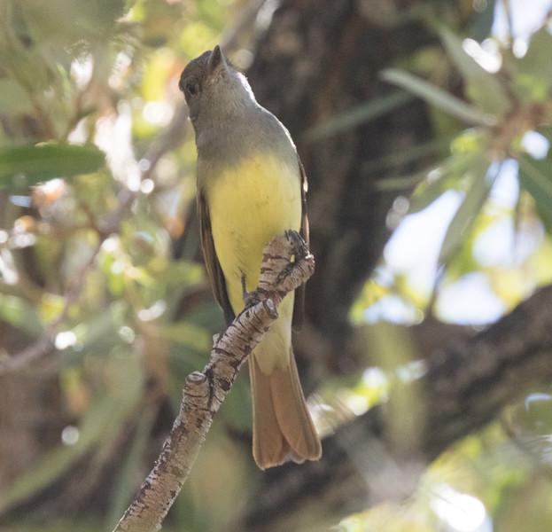 Great Crested Flycatcher Birchim Canyon 2019 10 21-3.CR2