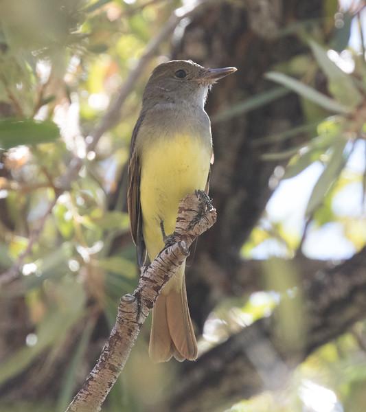 Great Crested Flycatcher Birchim Canyon 2019 10 21-4.CR2