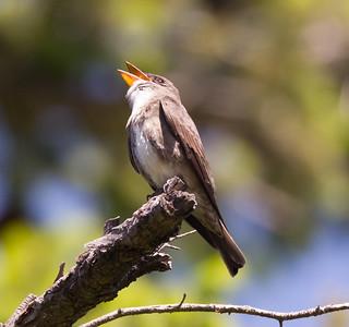 Olive-sided Flycatcher  Mt Palomar 2016 05 14-2.CR2