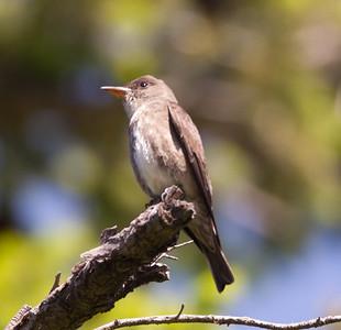 Olive-sided Flycatcher  Mt Palomar 2016 05 14-3.CR2