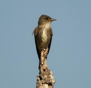 Olive-sided Flycatcher  Camp Pendleton 2014 05 26-4.CR2