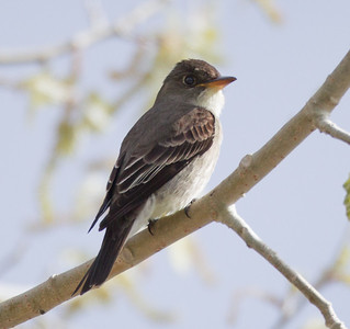 Olive-sided flycatcher Crowley Lake 2016 05 26-1-2.CR2