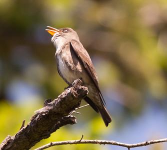 Olive-sided Flycatcher  Mt Palomar 2016 05 14-1.CR2