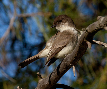 Eastern Phoebe  Rosacrutian Fellowship Oceanside  2011 01 28-1.CR2.CR2