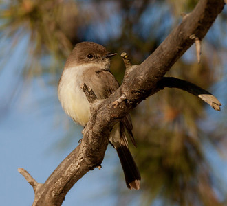 Eastern Phoebe  Rosacrutian Fellowship Oceanside  2011 01 28-1.CR2-4.CR2