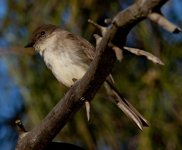 Eastern Phoebe  Rosacrutian Fellowship Oceanside  2011 01 28-1.CR2-1.CR2