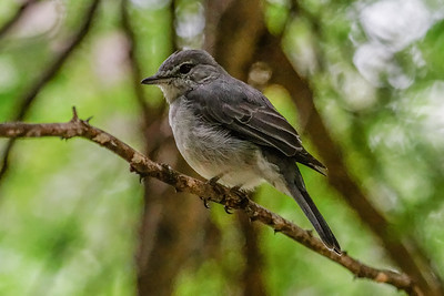 Ashy Flycatcher - Askefluesnapper