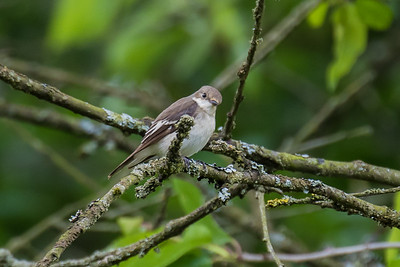 Pied Flycatcher - Broget Fluesnapper