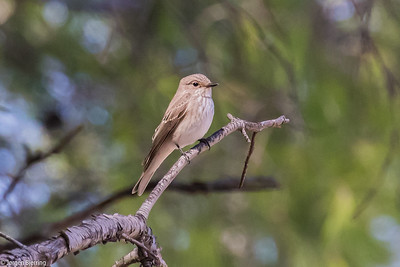 Spotted Flycatcher - Grå Fluesnapper