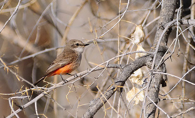 Vermillion Flycatcher (Female)