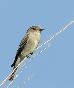 Western Wood Peewee (and cottonwood seeds)
