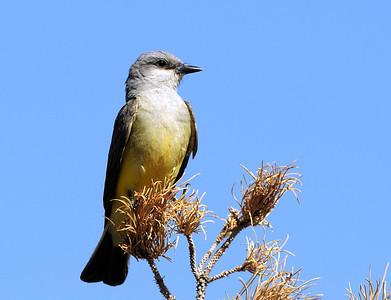 Western Flycatcher
