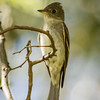 Empidonax Flycatcher