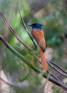 Indian Paradise Flycatcher female