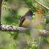 Great Crested Flycatcher at Noxubee