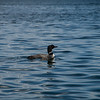 Northern Loon