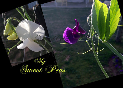 My Sweet Peas
