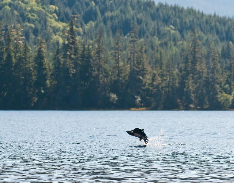 Jumping humpy at Luck Lake, Prince of Wales Island