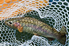 Wild  Yuba River rainbow, caught on a Skwala dry fly in February