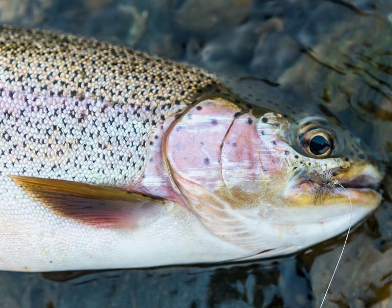 rainbow trout, Madison River