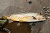 Salmo clarki bouvieri, the native Yellowstone cutthroat strain of trout