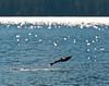 jumping salmon, Luck Lake