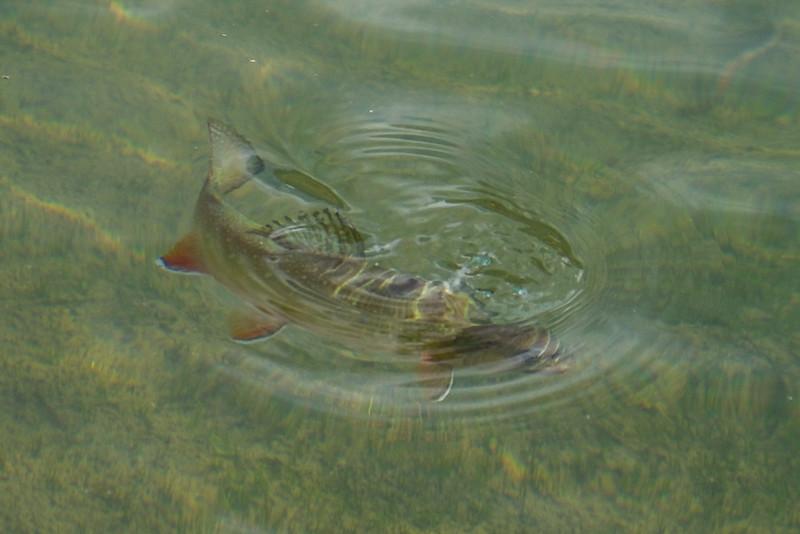 High Sierra brook trout