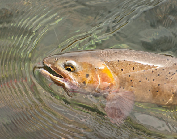 Another beautiful Yellowstone cutthroat on the line