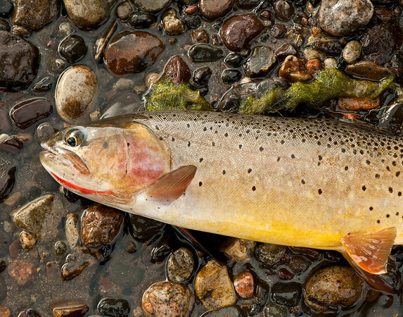 The yellowstone cutthroat of Slough Creek are healthy, colorful, and hard fighting