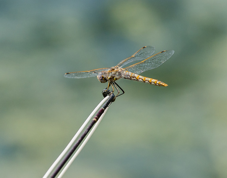 Dragonfly, Yuba River