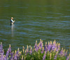 Flyfisher and Lupines, Lower Yuba River, CA