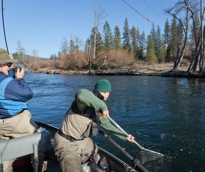 Netting a Steelhead, Trinity River CA
