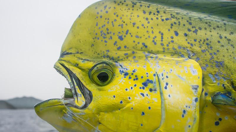 Dorado Close-up