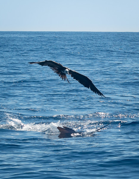 Marlin with Spear out of Water and Hovering Frigate Bird