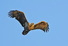 White-tailed eagle in low midnight sun.