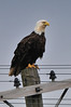 Bald Eagle, June 2010, Cape Breton