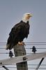 Bald Eagle, June 2010, Cape Breton