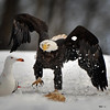 """""""Looking for trouble?"""" Bald Eagle and Gull, February 2011, Sheffield Mills, Nova Scotia"""