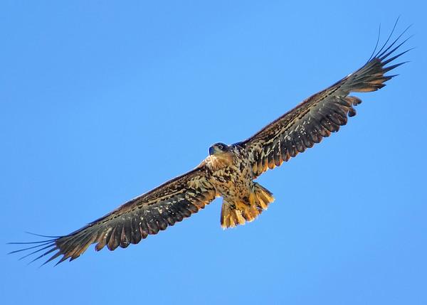 """White-tailed Eagle (aka """"Sea Eagle"""")"""