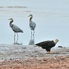 Bald Eagle and a pair of Great Blue Herons. June 2010, Prince Edward Island.