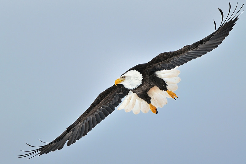 Bald Eagle. February 2011 Sheffield Mills, Nova Scotia